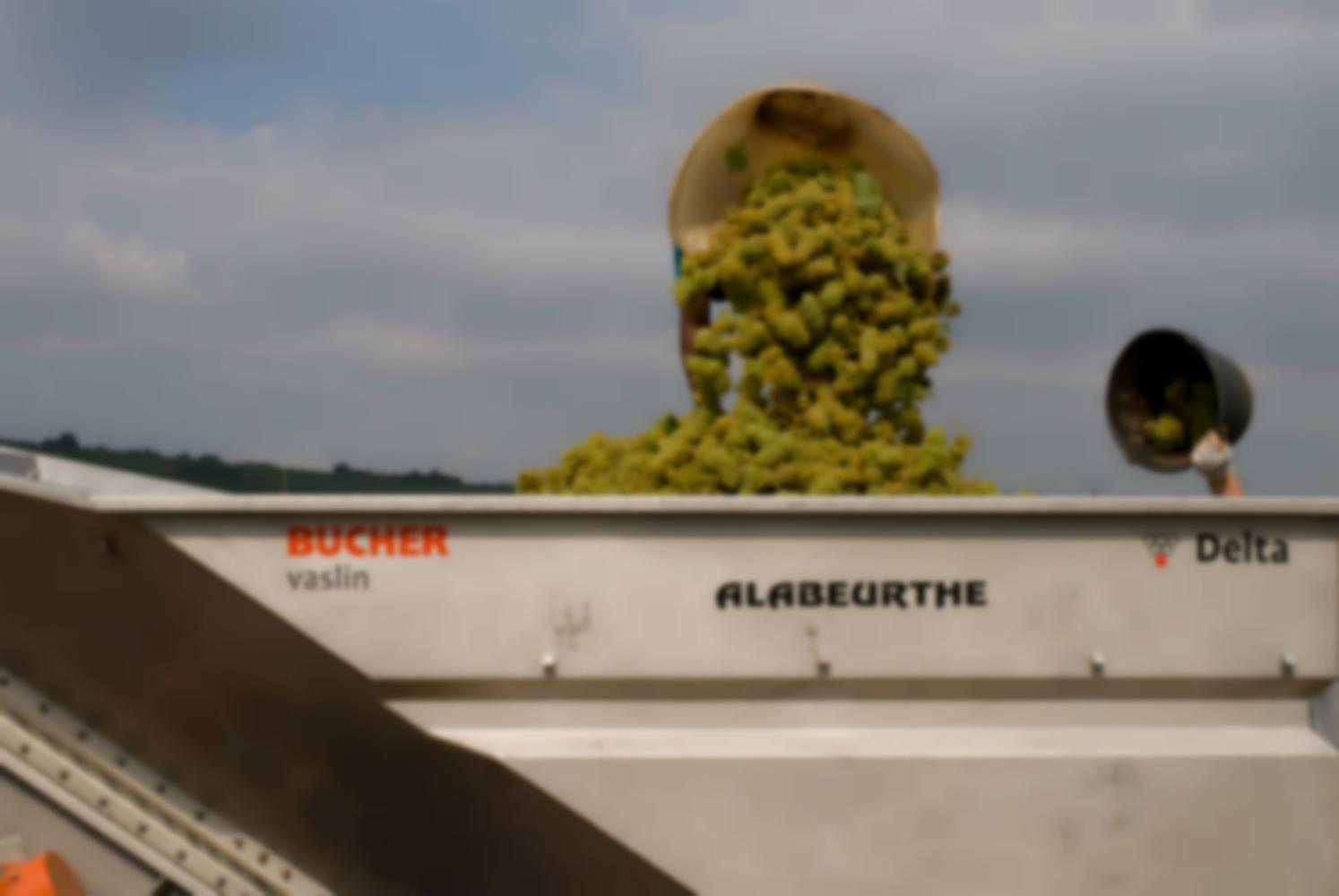 Par-dessus la benne, une hotte et le raisin blanc qui en tombe cachent le porteur. A côté, une main vide un seau. Chassagne-Montrachet, Bourgogne, septembre 2009.
