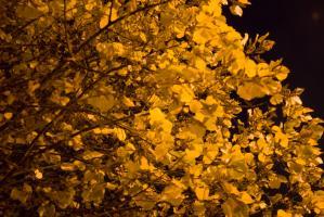 Tilleul dont le jaune des feuilles est avivé par la lumière d'un réverbère. Nanterre, octobre 2009.